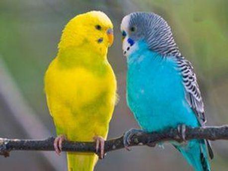 Волнистые папугаи