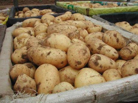 Картопля з Білорусі їде на стіл росіян
