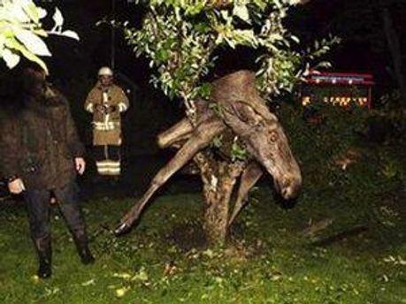 Пьяный лось — нередкое явление осенью в Швеции