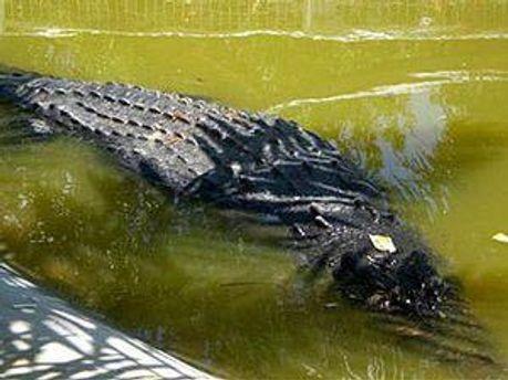Гигантского крокодила проверяют на стресс