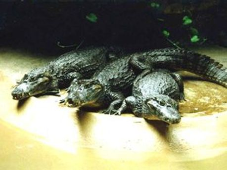 Крокодилы могут представлять угрозу туристам