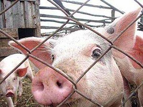 У свиней нашли африканскую чуму