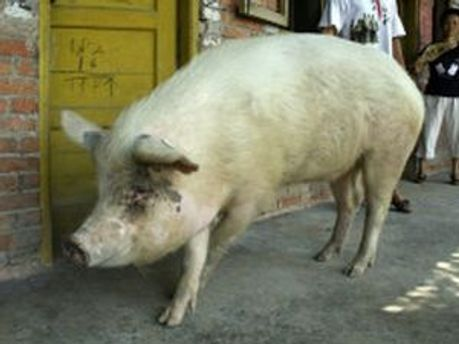 Свиня Чжу провела 36 діб під руїнами свинарника