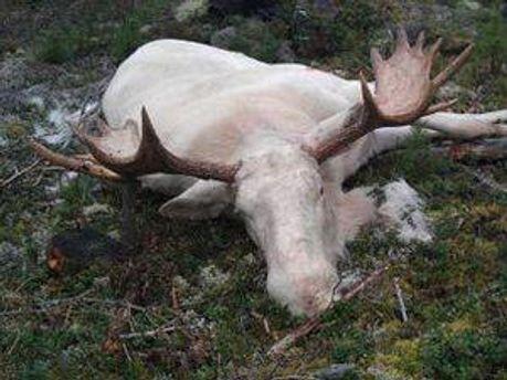 Рідкісний білий лось