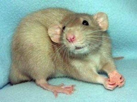 Ученые создали крысу-киборга