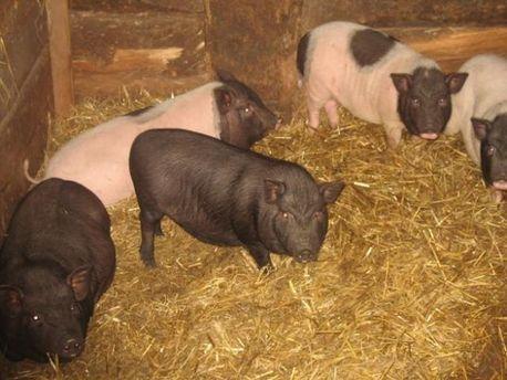 Существует постоянная угроза заражения свиней африканской чумой