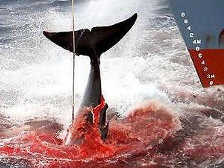 Японці кажуть, що полюють на китів заради науки