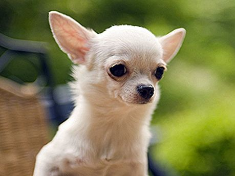 Собака породи чіхуахуа