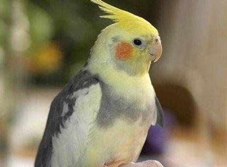 Папуга породи корелла