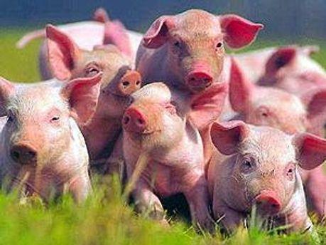 В Литве не зафиксировали чумы у свиней