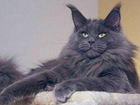 Мейн-кун - найбільша порода домашніх кішок