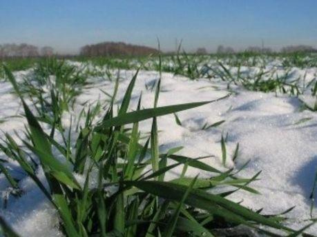 Украинские аграрии будут пересивать 14% озимых