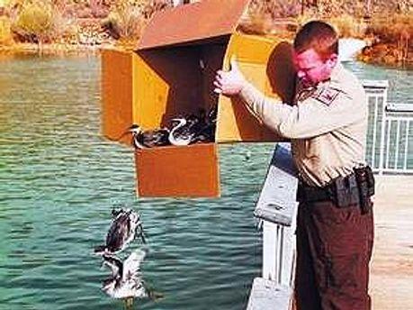 Птиц, которые выжили выпускают в воду