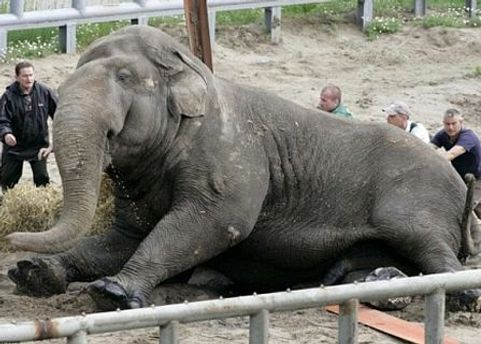 Слона бивнями штовхнув інший слон
