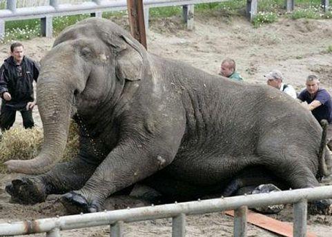 Слона бивнями толкнул другой слон