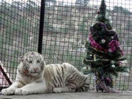 Тигрюля в зоопарке