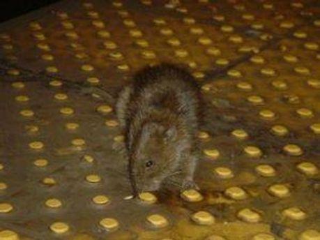 Сфотографированная крыса
