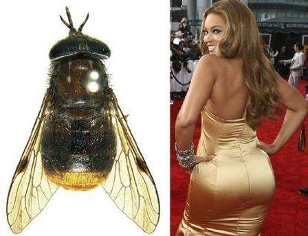 К такому имени ученого побуждали золотые волоски на брюшке насекомого