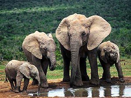 Слоны на Суматре