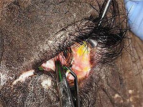 Слонихе поставили контактную линзу