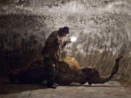 Російські вчені хочуть клонувати мамонта