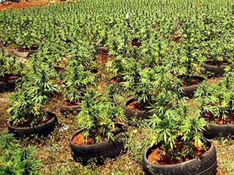 Место для выращивания конопли держат в тайне