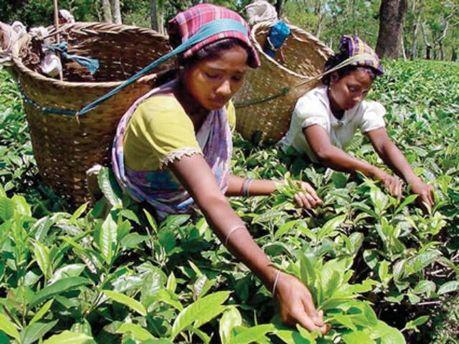 На урожай чая повлияла неблагоприятная погода