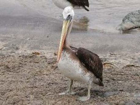 На узбережжі Перу з невідомих причин загинули більше тисячі пеліканів