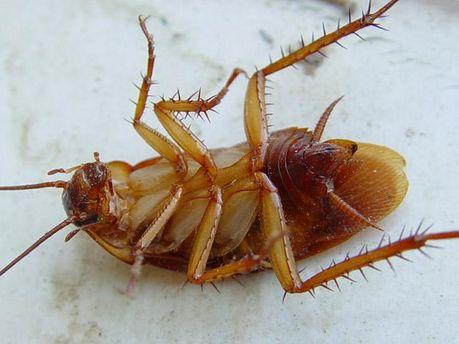 Рыжие тараканы оккупировали Неаполь