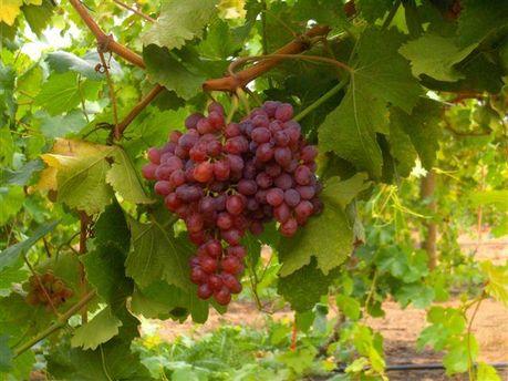Виноградники у Кахетії