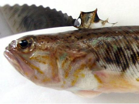 Ядовитая рыба-дракон
