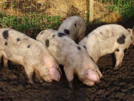 Свині