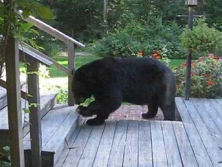 Ведмідь на ґанку
