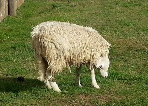 Британец снял живую овцу с наоборот посаженной головой (Видео)