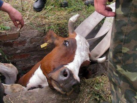 Корову вынимали из колодца