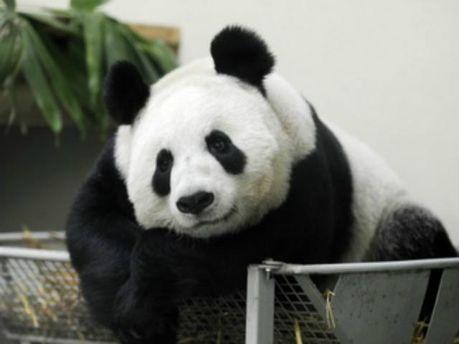 Панда Янг-Ганг