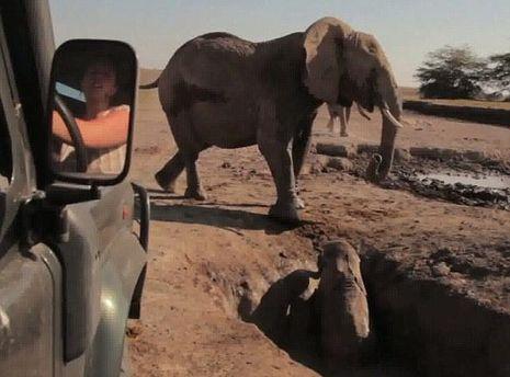 Слоненя потрапило в пастку