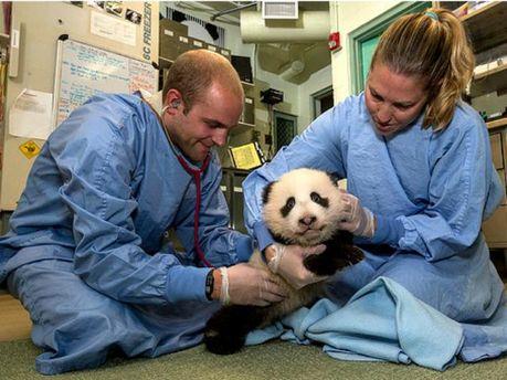 Медосмотр панды