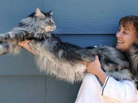 Ушел из жизни самый длинный кот в мире
