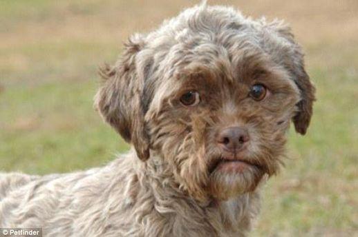 У США живе собака із людським обличчям (Фото)