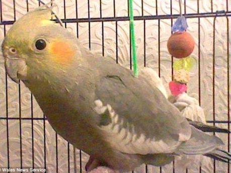 Попугай Куки