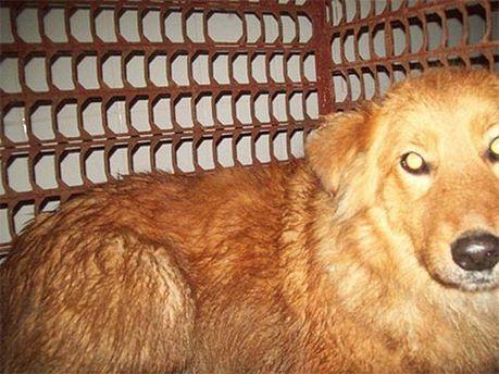 Рудий собака