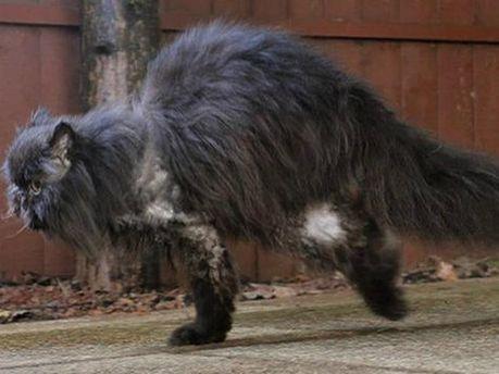 Персидский кот ходит только на 2 лапах (Фото, видео)