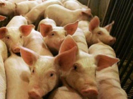 На ферме было 180 свиней.
