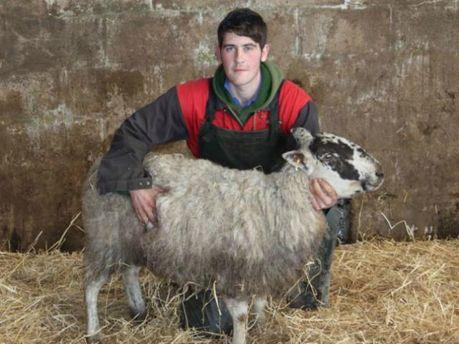 Шотландська вівця просиділа у сніговому полоні 11 днів (Фото)