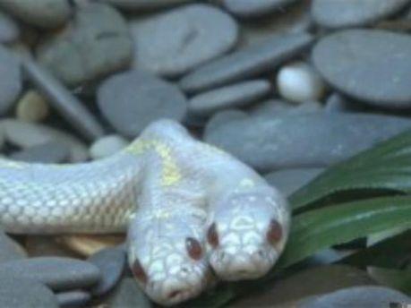 В Московском зоопарке показали уникальную змею (Видео)