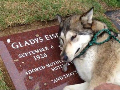 Домашний волк зарыдал на могиле бабушки своей хозяйки (Видео)