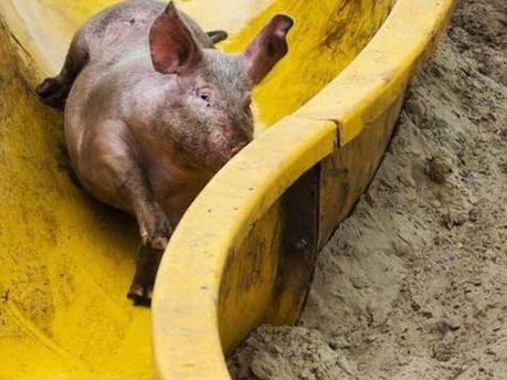 Аквапарк для свиней