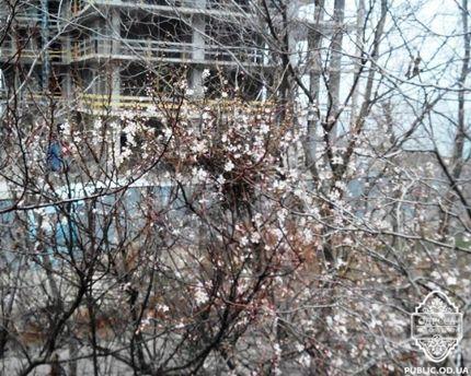 Японська слива зацвіла на одеській трасі
