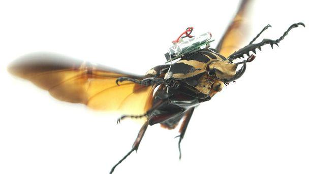 Піддослідний жук